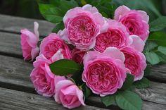"""""""Rose Pompadour"""" Delbard France"""