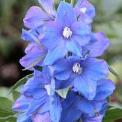 Show product details for Magic Fountains Sky Blue Delphinium Plant