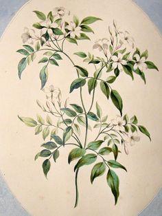 Tattoo idea - john-edwards-1795-folio-hand-col-botanical-print.-white-jasmine-[2]-51494-p.jpg (788×1050)