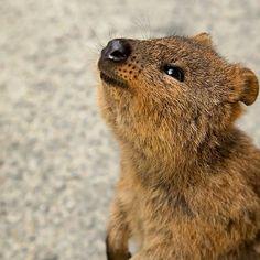 Quokka on rottnest island #westernaustralia #Australia #quokka #rottnestisland #rottnest #wa #island #cute #furryfriend #furry by drebudd http://ift.tt/1L5GqLp