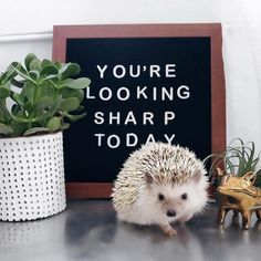 """7,030 Likes, 106 Comments - Lionel And Lilo The Hedgehogs (@lionelthehog) on Instagram: """"You're looking sharp today  @letterlinksco"""""""