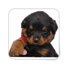 #Rottweiler Puppy Red Square Sticker - #rottweiler #puppy #rottweilers #dog #dogs #pet #pets #cute