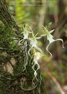 The Ghost Orchid...Found in Florida and Cuba. Nowhere else