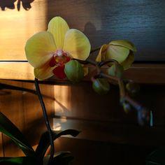 Голден Бьюти начала свое первое домашнее цветение! Красота ,мне очень нравится. . . .… Flowers, Plants, Plant, Royal Icing Flowers, Flower, Florals, Floral, Planets, Blossoms
