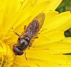 Gewoon en Zuidelijk Weidegitje (Cheilosia albitarsis-ranunculi)