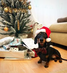 """Monty the dachshund """"To all my wonderful fans! I hope you have a wonderful Christmas! I'm very excited to open all these…"""""""