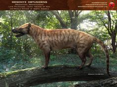 Mesonyx was a forest predator and live in the Late Paleocene to Middle Eocene in Asia and North America (approximately 50 - 42 Ma).  Mesonyx was a medium-sized predator. With the skull is about 33 - 35 cm total length, Mesonyx reached 70 - 75 cm at the withers, and 1.5 - 1.6 m in length, excluding the long tail.