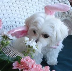 Taking time to smell the flowers: #maltese