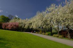 Kirsebæralleen Oslo Botanical Garden Norway