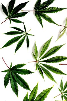 INDIVIDUUM | graphic lab - hemp leaves …