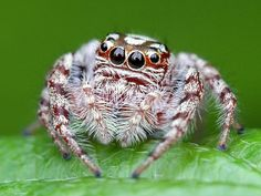 How can something so tiny be so intricate, and perfectly designed with out a God to have made it be so? Jumping spider.