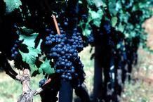 how to prune grape vines. oregon.