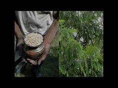 Medicinal Rice P5N Formulations for Tainia Excess: Pankaj Oudhia's Medic...