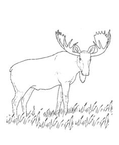 Grazing moose coloring page | Moose Coloring page