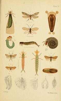New Zealand Neuroptera : - Biodiversity Heritage Library