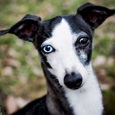 Gorgeous eyes and a beauty! #dogs #pets #ItalianGreyhounds Facebook.com/sodoggonefunny