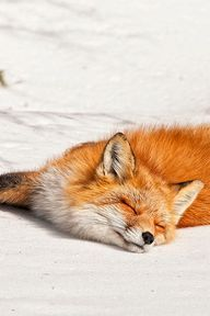 awesome,cool,interesting,,great fox by les piccolo.