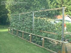cattle panel garden photos | Vegetable Gardening: Weedwhacker picture (What's a good support for ...