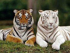 tigre - Pesquisa Google