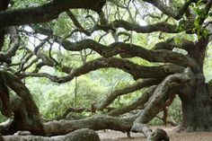 Since everyone seems to love the photo of the Angel Oak I posted here are some others. The Angel Oak is believed to be in excess of 1500 years old, its massive, draping limbs and wide spreading canopy. Old Oak Tree, Old Trees, Tree Branches, Angel Oak Trees, Johns Island, Giant Tree, Unique Trees, Tree Forest, Photo Tree