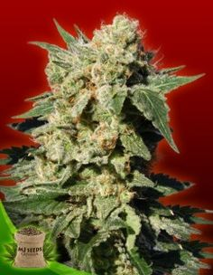 AUTOFLOWERING DIESEL FEMINIZED STRAIN Marijuana Seeds Canada | MJ Seeds Canada #marijuanaseeds #marijuanastrain #marijuanaseedscanada #weed #pot #cheapmarijunaseeds