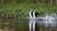 An amazing bird dance on the Shuswap Lake - Western Grebe Canada Day, Pet Birds, Westerns, The Neighbourhood, Wildlife, Dance, Spaces, Crochet, Amazing