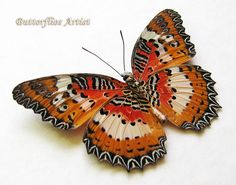 Malay Lacewing Cethosia Hypsea Real Butterfly In Museum Quality Shadowbox by ButterfliesArtist on Etsy
