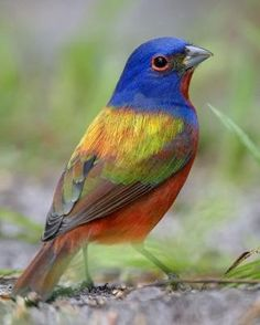 painted bunting..would love to see one.