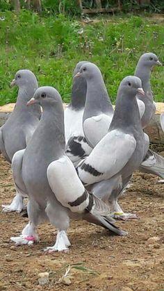 Hein heeft 18 duiven. Hij gebruikt ze als postduiven om brieven mee te versturen. Betsie is de naam van de beste duif van Hein. Hij geeft haar mee aan de buurman die een postbode is en die dag toevallig naar Rotterdam moet. Hij geeft de duif samen met een brief af aan professor Zegers.