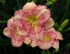 Mini Daylily, Hemerocallis 'Kiwi Magic' (Bennet-F. Different Flowers, Small Flowers, Beautiful Flowers, Pink Garden, Lawn And Garden, Deer Food, Virtual Flowers, Fine Gardening, Flower Gardening