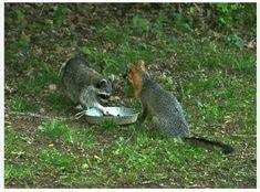 Murphy, NC : Raccoon and Fox sharing the same food dish