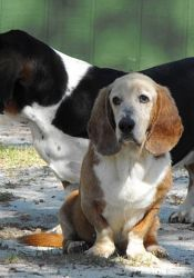 Clancy is an adoptable Basset Hound Dog in Columbia, SC. Clancy has been in the rescue over nine months now. When he first came in, he was a bag of bones at 26 lbs. However, he is looking really good ...