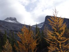 Larch trees donning their fall colours below Mount Sparrowhawk, South of Canmore, Alberta Larch Tree, Sparrowhawk, Calgary, Trees, Colours, Mountains, Fall, Autumn, Wood Illustrations