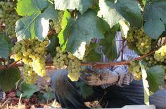 Napa Valley Grapegrowers / Napa Valley Vintners