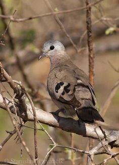 Emerald-spotted Wood-Dove (Turtur chalcospilos) adult bird