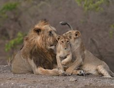 Royal Animals, Big Animals, Animals Of The World, Gir Forest, Asiatic Lion, Forest Department, Fierce Animals, Primates