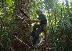 Iniciando el proceso de pica del árbol