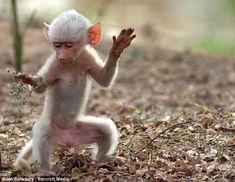 rare white baboon
