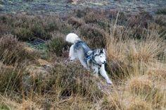 Husky Smokey (jan. 2015) #dog