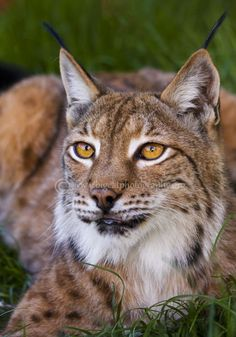 Lynx in het gras mooi!i!