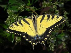 Title  Tiger Swallowtail Butterfly   Artist  David and Carol Kelly   Medium  Photograph - Photograph