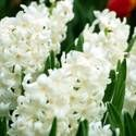 Hyacinths: After plants are finished flowering in spring, cut back flower stalks but allow the leaves to die back naturally.