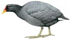 Red-fronted Coot (Fulica rufifrons)