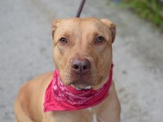 Brooklyn Center CADENCE – A1038464 ***RETURNED 06/09/15 – TOO BIG*** SPAYED FEMALE, TAN / WHITE, AM PIT BULL TER MIX, 1 yr, 11 mos RETURN – ONHOLDHERE, HOLD RELEASED Reason TOO BIG Intake condition EXAM REQ Intake Date 06/09/2015