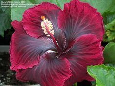 Cajun Hibiscus 'Black Dragon'