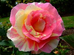 Love Rose Flower, Beautiful Rose Flowers, Pretty Roses, Exotic Flowers, Amazing Flowers, Beautiful Flowers, Floral Backdrop, Rose Pictures, Rose Bouquet