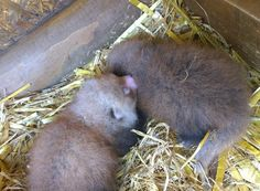 Visitors to Wingham Wildlife Park in Kent, UK will have the chance to greet its latest two arrivals – baby red pandas, born on Friday, June 19, 2015.