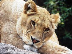 #WILDLIFE #Lion #LIONESS 02 by SheltieWolf.deviantart.com on @DeviantArt