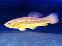 WOLF FISH WOLFISH (HOPLIAS MALABARICUS) 13 inches PERFECT EXAMPLE. at Aquarist Classifieds