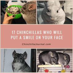These Chinchillas Are The Most Adorable Things Youll See All Day - 29 adorable animals that will put a smile on your face